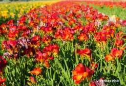 summer bloom Holland flower field best time Keukenhof visit