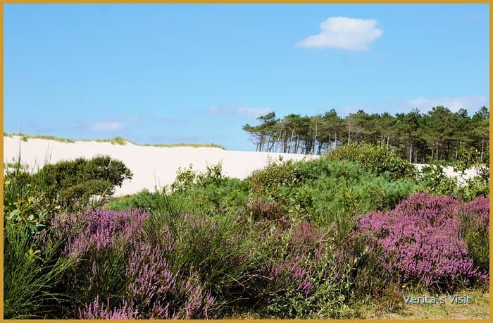 heather dunes Schoorle duinen national park Holland-veritasvisit